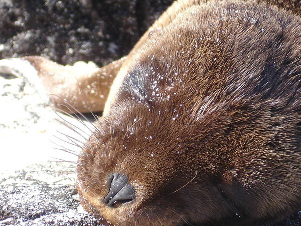 Animal Poster featuring the photograph Sleeping Sea Lion by Chad Natti
