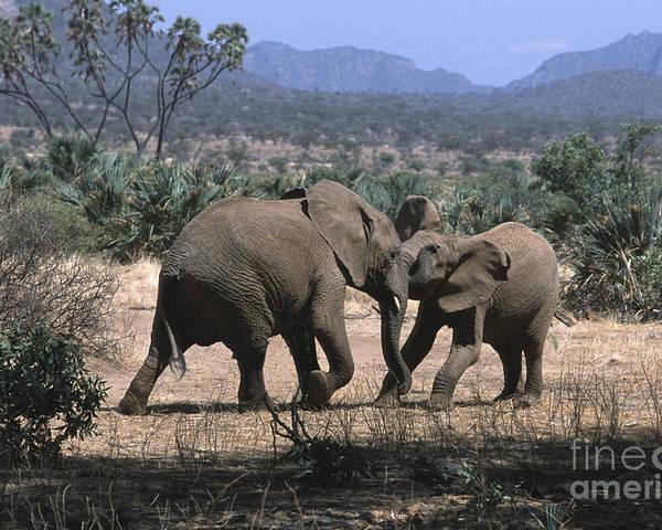 Elephants Poster featuring the photograph Slight Disagreement by Sandra Bronstein