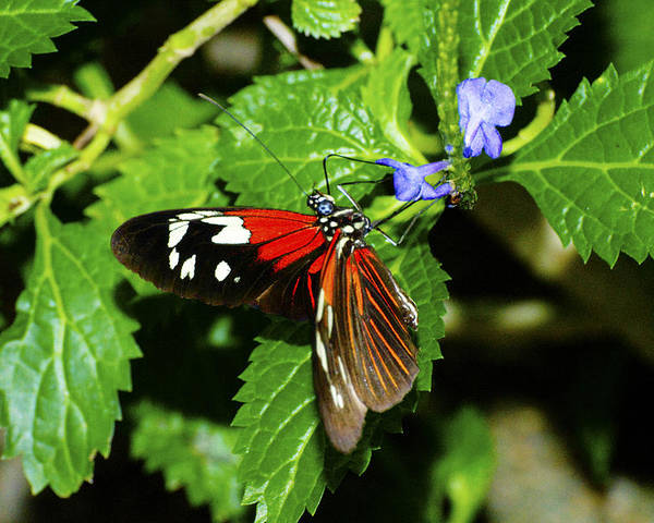 Butterfly Poster featuring the photograph Small Flower Big Tongue by Richard Henne