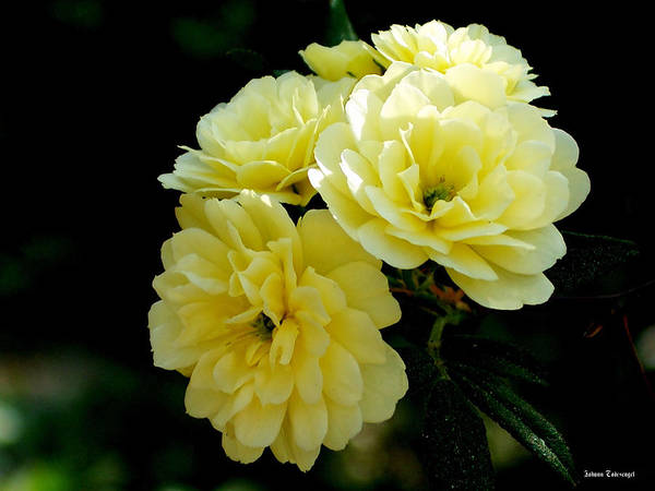 Nature Poster featuring the photograph Small Yellow Roses by Johann Todesengel