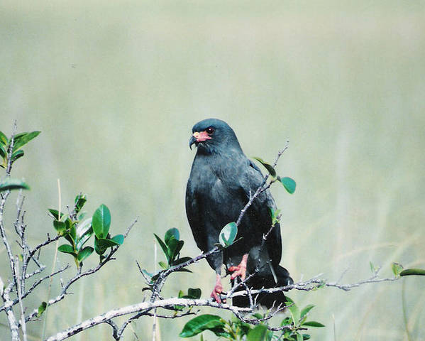 Birds Poster featuring the photograph Snail Kite by Cindy Gregg