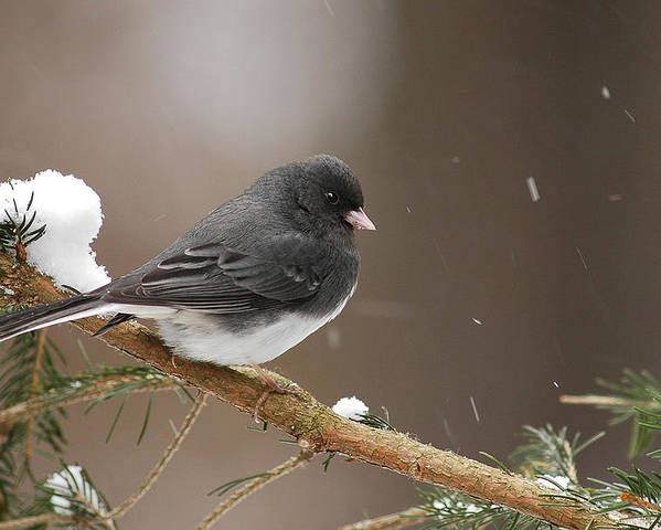 Snow Bird Poster featuring the photograph Snow Bird by Alan Lenk