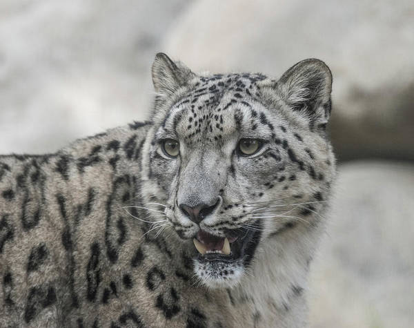 Snow Poster featuring the photograph Snow Leopard by Andrew Lelea