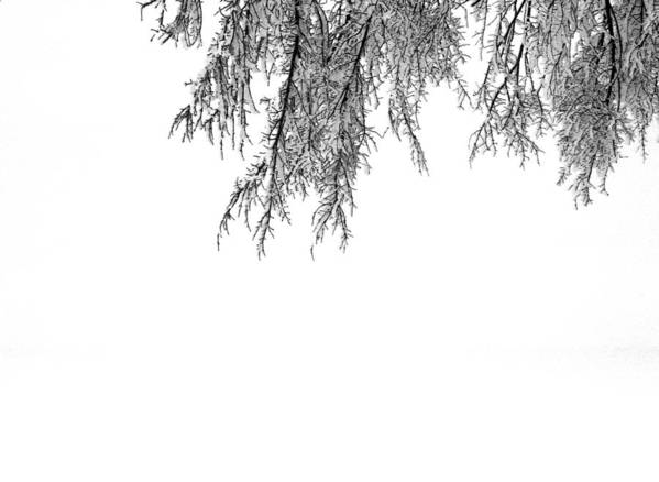 Black And White Poster featuring the photograph Snow On The Branches Three by Lyle Crump