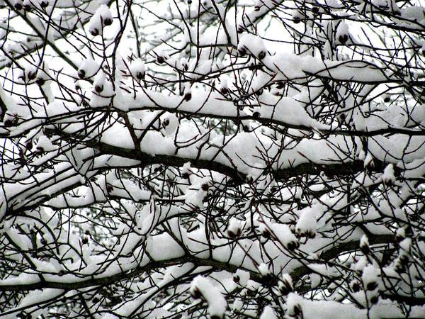 Foliage Poster featuring the photograph Snowfall On Branches by Deborah Crew-Johnson