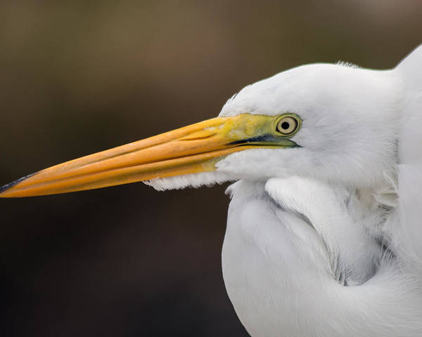 Egret.snowy Egret Poster featuring the photograph Snowy Egret by Don West