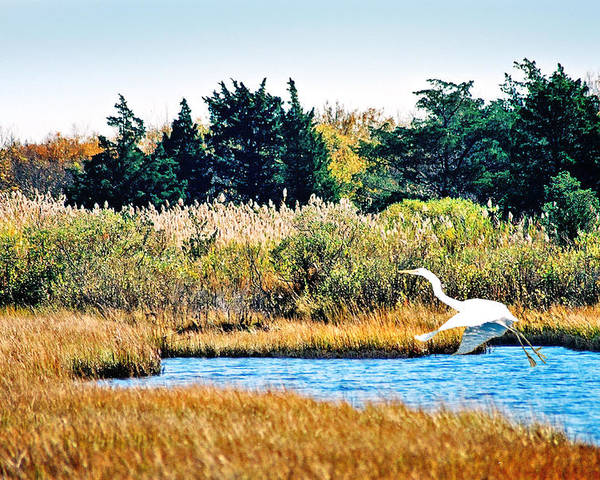 Landscape Poster featuring the photograph Snowy Egret-island Beach State Park N.j. by Steve Karol
