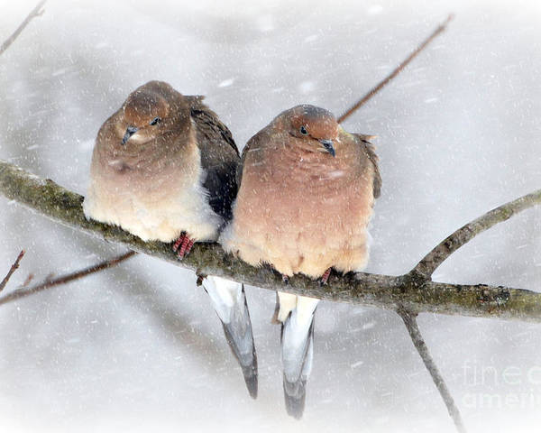Snowy Mourning Dove Pair Prints Poster featuring the photograph Snowy Mourning Dove Pair by Lila Fisher-Wenzel