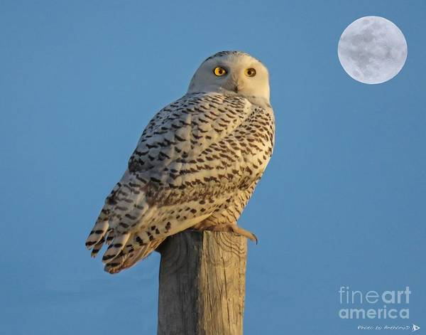 Bird Poster featuring the photograph Snowy Owl by Anthony Djordjevic