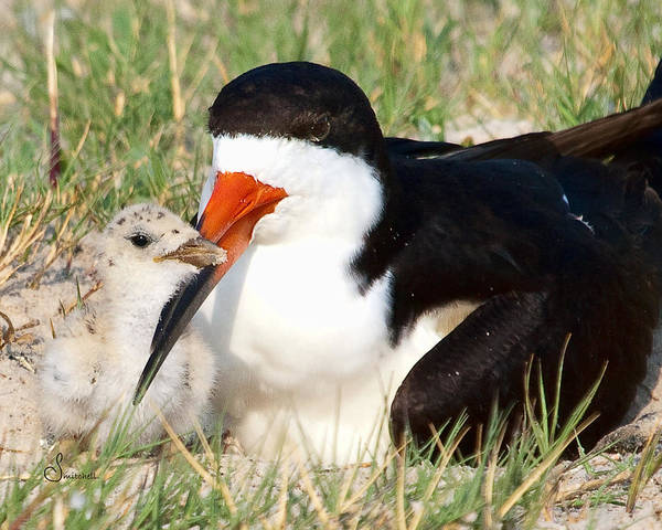 Black Skimmer Poster featuring the photograph Snuggle by Sally Mitchell