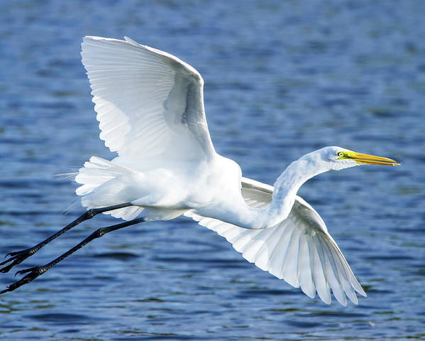 Great White Egret Poster featuring the photograph Soaring by Mark Andrew Thomas