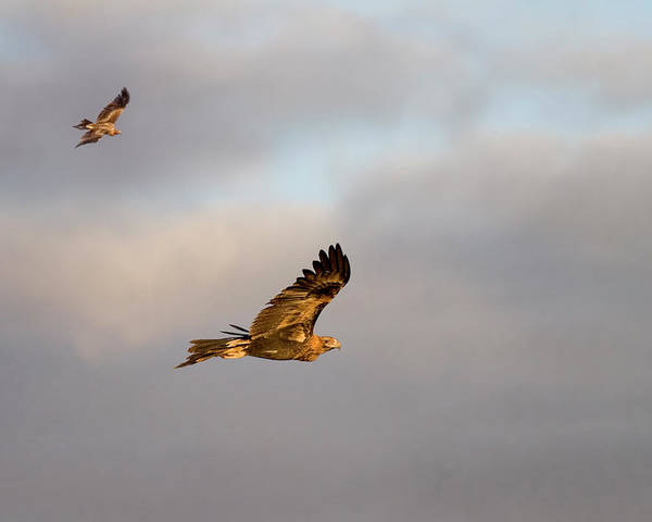 Eagle Poster featuring the photograph Soaring Pair by Mike Dawson