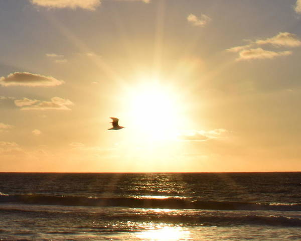 Landscape Poster featuring the photograph Soaring Seagull Sunset Over Imperial Beach by Karen J Shine