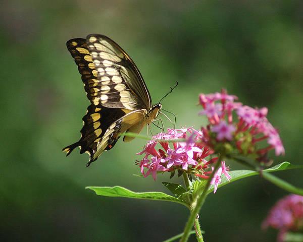 Butterflies Poster featuring the photograph Soft Landing by Robert Anschutz