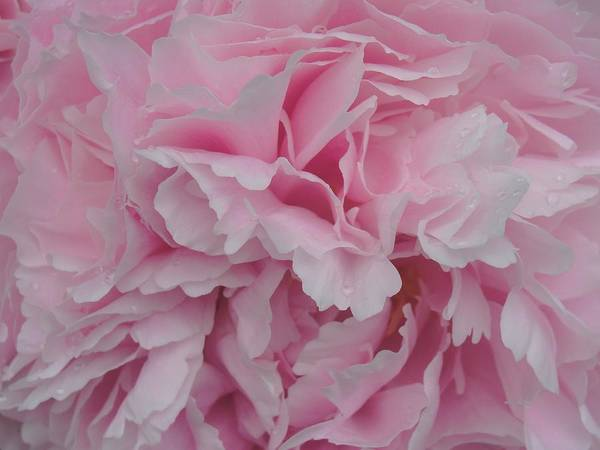 Peonies Poster featuring the photograph Soft Pink by Christine Olson