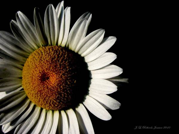 Daisy Poster featuring the photograph Solitude by Jennie Richards