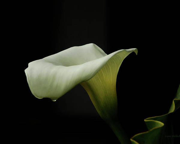 Calla Lily Poster featuring the photograph Something About Lily by Donna Blackhall