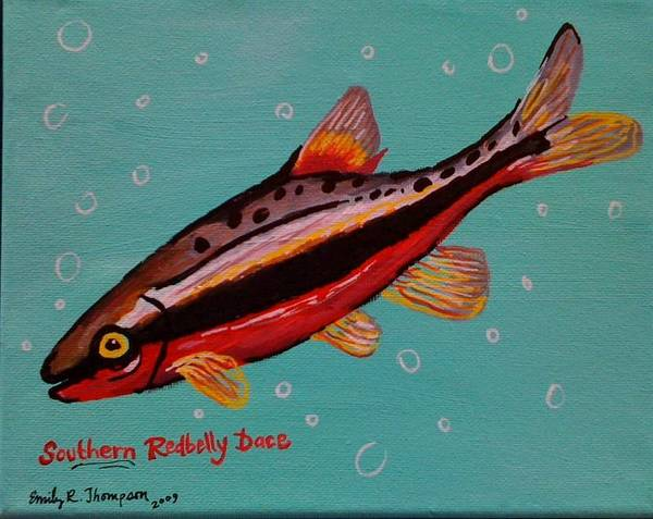 Fish Whimsical Animal Tropical Dace Redbelly Poster featuring the painting Southern Redbelly Dace by Emily Reynolds Thompson