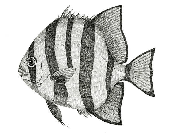 Ocean Poster featuring the drawing Spadefish by Jeno Futo