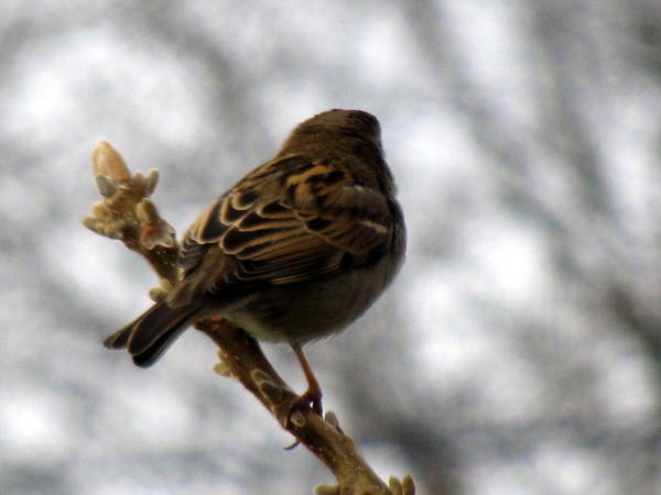 Sparrow Poster featuring the photograph Sparrow In Springtime by Lisa Jayne Konopka