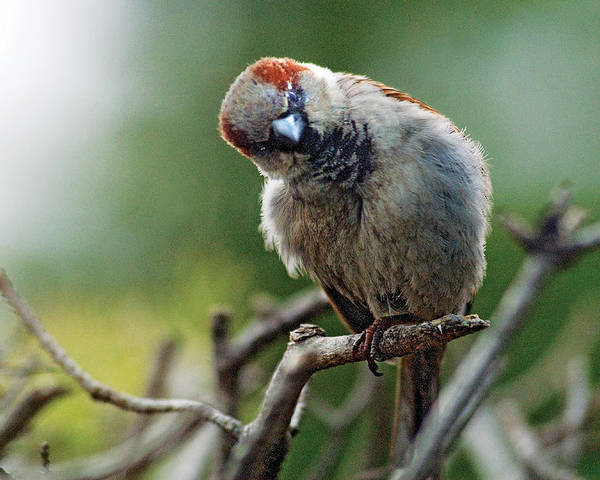 Humor Poster featuring the photograph Sparrow Puzzled At What It Sees by Steve Somerville