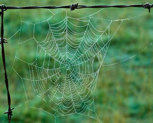 Spider Poster featuring the photograph Spider Web In The Springtime by Douglas Barnett
