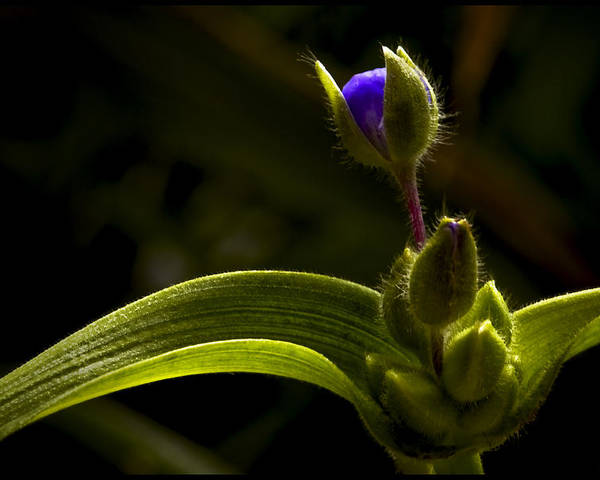 Flora Poster featuring the photograph Spiderwort Bud by Daniel G Walczyk