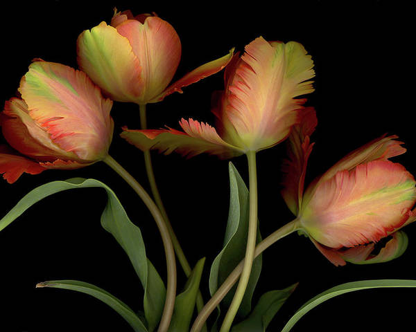 Tulips Poster featuring the digital art Splash of Spring by Sandi F Hutchins
