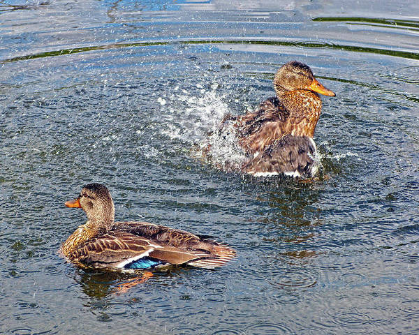 Duck Poster featuring the photograph Splish Splash by Asbed Iskedjian