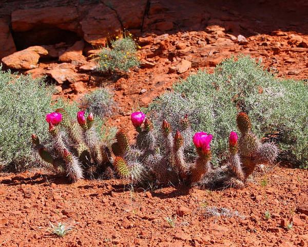 Prickly Pear Cactus Poster featuring the photograph Spring Cactus by Sharon I Williams