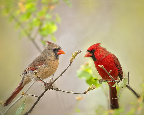 Cardinals Poster featuring the photograph Spring Cardinals by Bonnie Barry