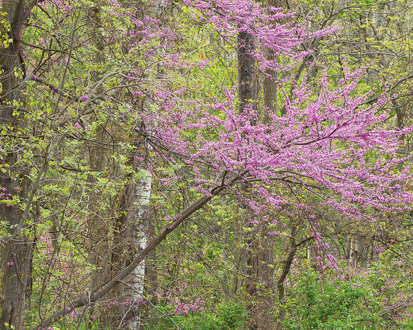 Blooming Poster featuring the photograph Spring Forest With Redbud by Dean Pennala
