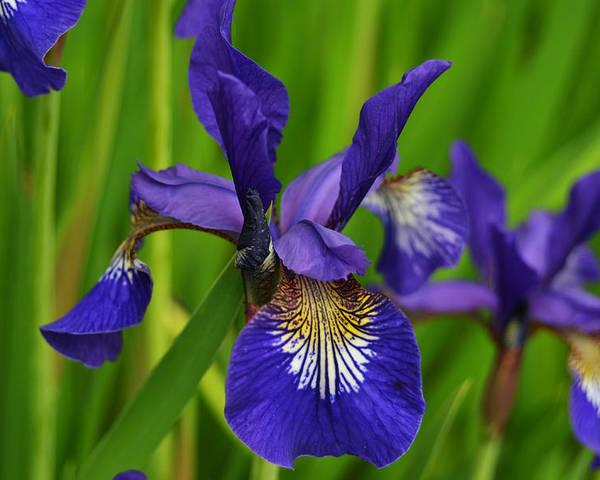 Iris Poster featuring the photograph Spring Iris by Robert Coffey