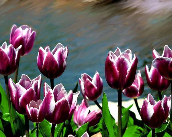 Tulip Poster featuring the photograph Spring Tulips 1 by Jim Darnall