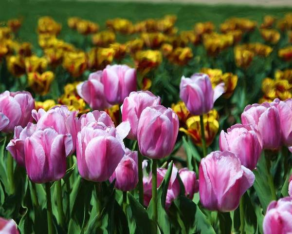 Tulips Poster featuring the photograph Spring Tulips 2 by Jim Darnall