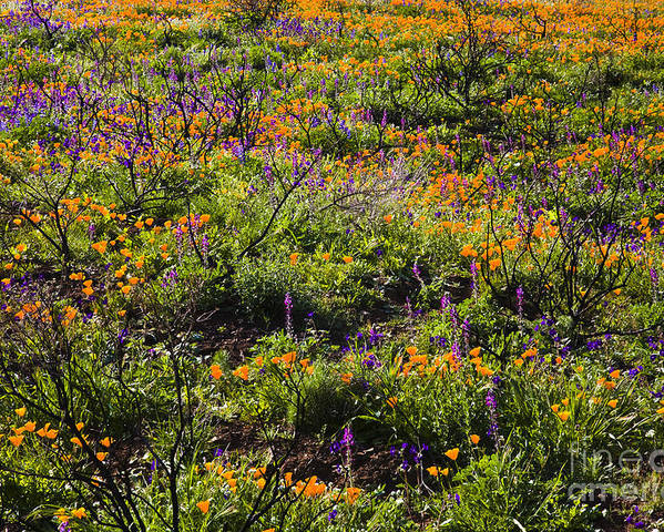 Santa Monica Mountains Poster featuring the photograph Spring Wildflowers by Greg Clure
