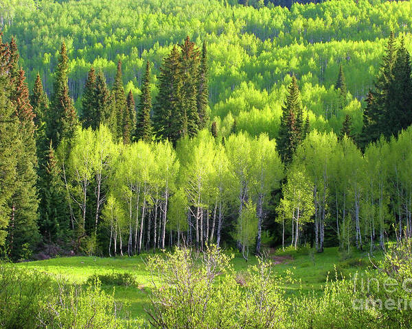 Altitude Poster featuring the photograph Springtime Aspens by Crystal Garner