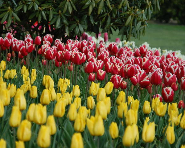 Tulips Poster featuring the photograph Springtime In Washington by HP Hwang