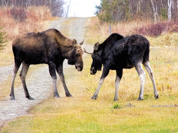 Moose Poster featuring the photograph Squaring Off by William Tasker