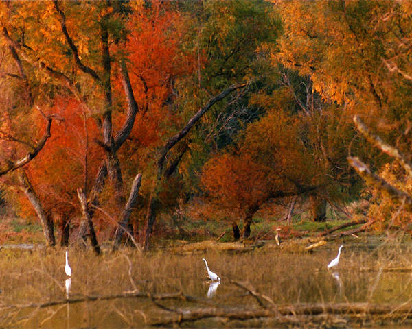 Landscape Poster featuring the photograph Squaw Creek Egrets by Steve Karol