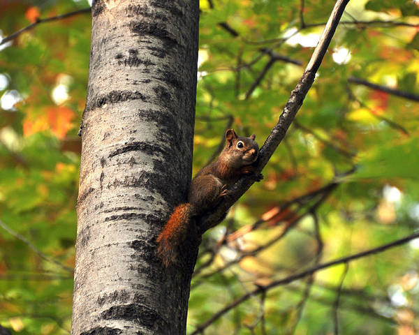 Squirrel Poster featuring the photograph Squirrel In Fall by John Ricker