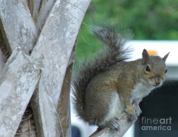 Squirrel Poster featuring the photograph Squirrel by Tommy Baker