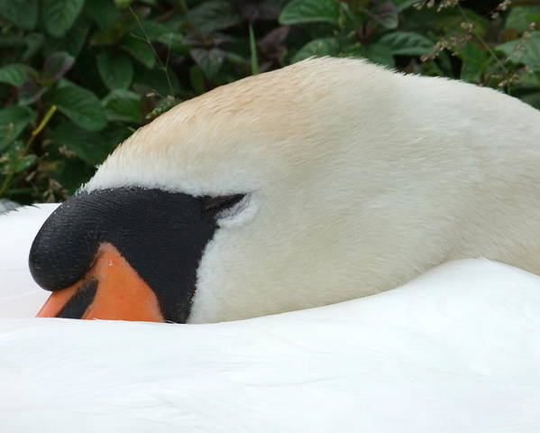 Swan Poster featuring the photograph Sssh I'm Sleeping by Andrew Ford