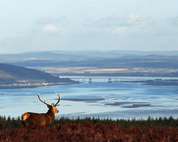 Red Deer Stag Poster featuring the photograph Stag Overlooking The Beauly Firth And Inverness by Gavin Macrae