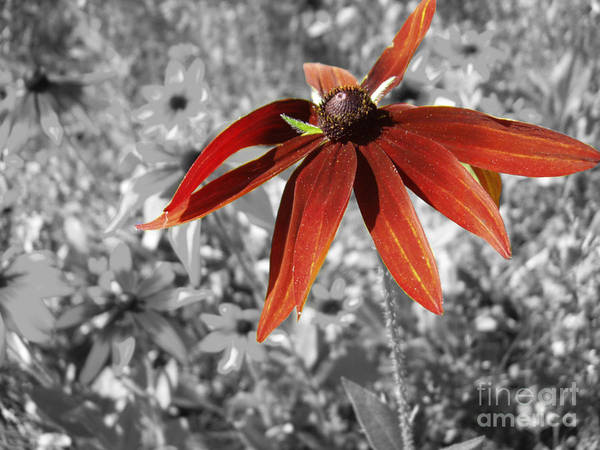 Black Eyed Susan Poster featuring the photograph Stand Out by Cathy Beharriell