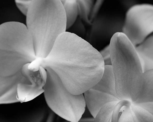 Orchid Poster featuring the photograph Starlight by Sally Engdahl