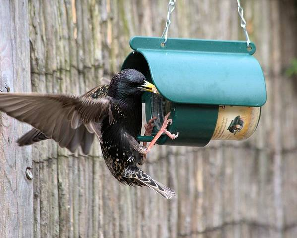 Starling On Bird Feeder Poster featuring the photograph Starling On Bird Feeder by Gordon Auld