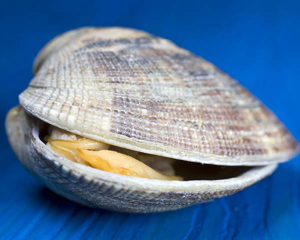 Steamed Clam Poster featuring the photograph Steamed Clam by Frank Tschakert