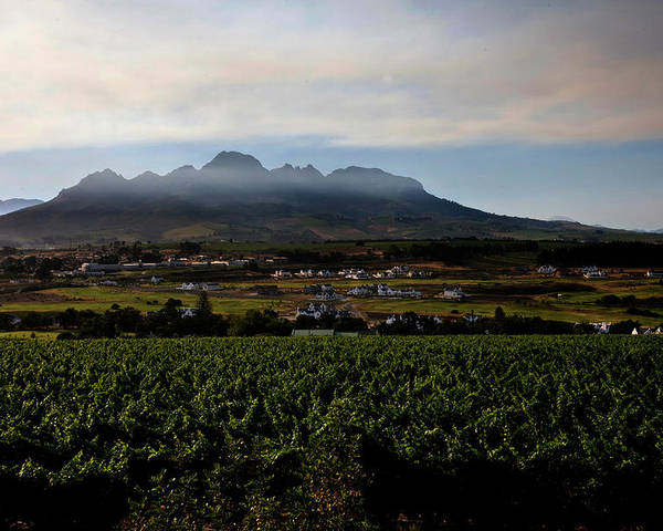 Stellenbosch Poster featuring the photograph Stellenbosch Vineyard by Dale Halbur