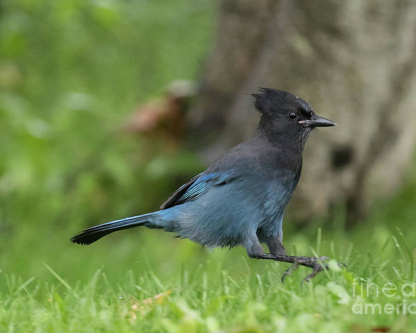 Steller's Jay Poster featuring the photograph Steller's Jay Landing by Eva Lechner